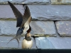 Mother swallow feeding her baby