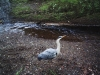 Heron photo taken by wildlife camera in the Tore of Troup