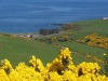 Gorse in bloom, Mill of Nethermill Holidays